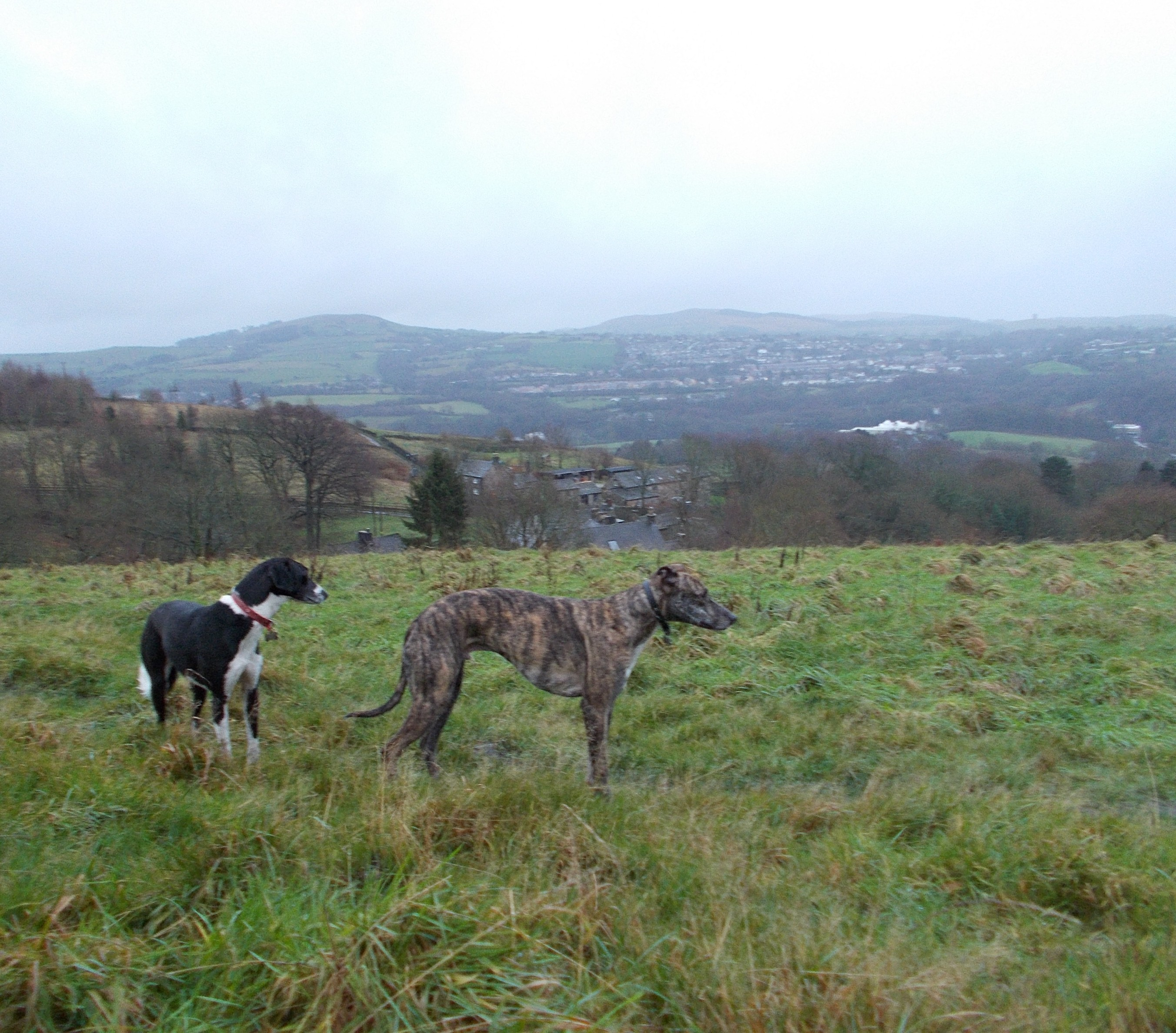 Lurchers - Shay and Dealan