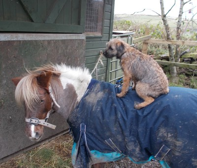 Polly the Shetland Pony and BEAR